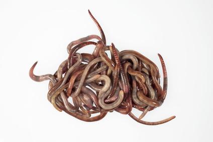 Regenwürmer kaufen