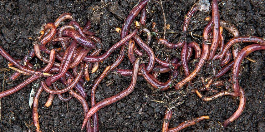 Kompostwürmer kaufen